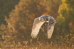 Snowy Owl - Autumn sunrise 501_3640.jpg (Mobile Lynn) Tags: birds snowyowl autumnal nature autumn bird fauna strigiformes wildlife nocturnal inflight flight flying coth specanimal owl buboscandiacus whiteowl owlsrelatives coth5 ngc npc