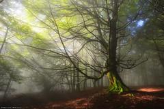 Shining Through (Hector Prada) Tags: autumn otoño forest bosque light luz sunlight shadows moss sombras musgo tree árbol mist bruma fog niebla dreamy scenery idyllic leaves hojas paísvasco basquecountry