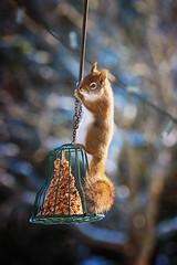 I'll just let myself down here and finish this off. (Dan Haug) Tags: wfh squirrel rodent feeding seeds yard birdwatching greely fujifilm xt3 xf100400mmf4556rlmoiswr xf100400mm sciurusvulgaris explore explored