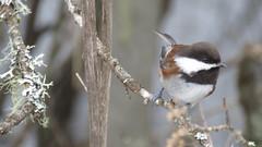 Chestnut-backed Chickadee (bencbright) Tags: chickadee chestnutbackedchickadee idaho latah sx60 canonsx60 bird