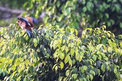 GHIANDAIA MARINA BOCCALARGO    ----    BROAD-BILLED ROLLER     -    ( Eurystomus glaucurus) (Ezio Donati is ) Tags: uccelli birds alberi trees foresta forest natura nature acqua water mare sea africa costadavorio abidjan