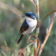 Paperbark Flycatcher 3 (Myiagra nana) (Keefy2014) Tags: paperbark flycatcher myiagra nana