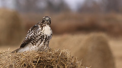 Western Red Tail Hawk (Bill G Moore) Tags: redtailhawk western birdofprey naturephotography wild wildlife hay raptor canon colorado november
