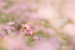 hazy vision (hitohira_) Tags: flower flowers nature bokeh cosmos