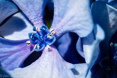 Up close and personal (Johan Grobbelaar) Tags: hydrangea blue stamen petal