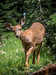 Pacific northwest travel (JeroenTeunissen) Tags: deer mount wild hunting hiking trail national park washington state olympic