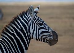 IMGP4524 Zebra Portrait (Claudio e Lucia Images around the world) Tags: ngorongoro crater tanzania africa zebra stripes wildlife pentax pentaxk30 pentax60250 pentaxart pentaxlens portrait