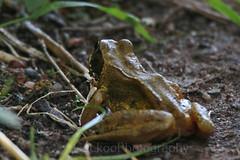 Common frog ,Rana temporaria (Geckoo76) Tags: commonfrog ranatemporaria frog amphibian