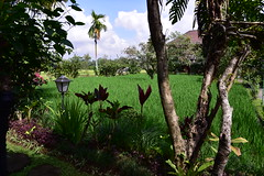 Bliss is set amidst paddy fields (shankar s.) Tags: seasia indonesia java bali islandparadise baliisland touristdestination hotel lodgings accomodation resort entrance blissubudspaandbungalow ubudbali reception garland statue idol hindufaith hindureligion hinduism prayer shrine garden landscaping paddyfield ricepaddies ricefield