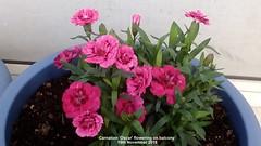 Carnation 'Oscar' flowering on balcony 19th November 2018 (D@viD_2.011) Tags: carnation oscar flowering balcony 19th november 2018