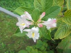 337 (en-ri) Tags: fiorellini little flowers cespuglio bush verde bianco rosa sony sonysti