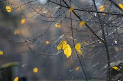 yellow (Frau Koriander) Tags: blätter leaves leaf blatt gelb autumn fall herbstlich yellow nikond300s nikkor8020028 tele tree baum geäst hanau tierparkfasaneriehanau dof depthoffield bokeh