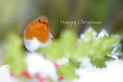 Happy Christmas! (Jacky Parker Photography) Tags: european robin bird gardenbird front facing garden snow holly redberries christmas festive winter 2018 nikond750 uk