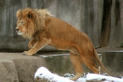 Lion 1 (Emily K P) Tags: milwaukeecountyzoo zoo animal wildlife bigcat cat feline male lion tan yellow grey gray rock climb climbing snow winter