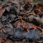 Sierra Nevada Ensatina - Ensatina eschscholtzii platensis thumbnail