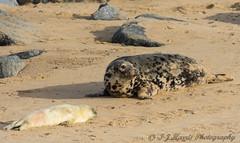Mum and new born pup (ian._harris) Tags: animals beach colours d7200 flickr horsey juvenile life natural naturaleza nature naturephotography nikon sigma sunny seal seals november