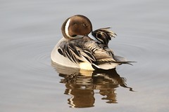 0M2A2230 Pintail (kevin_livesey) Tags: pintail wildfowl bird birdwatching wwt martin mere wetlands