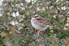 White-throated Sparrow (Alan Gutsell) Tags: whitethroatedsparrow white throated sparrow emberizine songbird houston texas texasbirds georgebushpark alan nature canon