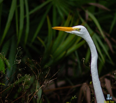 Great Egret (Davidpaez27) Tags: greategret egret bird animalportrait animals animal floridabird florida northmiamibeach