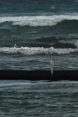 F914 Diving Tern Pt2 EF100-400/4.5-5.6 7DMkII @Mexico H89A8058 (Hiro sensei photos) Tags: ef100400mmf4556 7dmkii birds