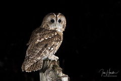 Tawny owl (Ian howells wildlife photography) Tags: ianhowells ianhowellswildlifephotography nature naturephotography nationalgeographic night canon canonuk wildlife wildlifephotography wales wild wildbird wildbirds tawnyowl tawny owl