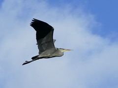 Grey Heron Flypast (chdphd) Tags: aberdeenshire kincardineshire stonehaven ardeacinerea ardea
