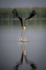 HoskoteBirding_Jan2019_D75_8458 (mgcs) Tags: hoskote birds indianbirds karnataka nikond750 nikkor200500 wild handheld