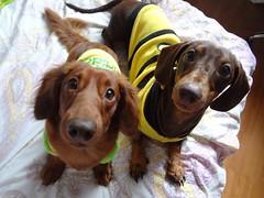 ♡ (carolyuki) Tags: 犬 ダックス dog dachshund cute 愛犬