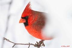 IMG_4420 male red cardinal (starc283) Tags: winter blizzard bird birding wildlife canon nature starc283 cardinal red female outdoor flicker flickr natures finest watcher tree snow maleredcardinal