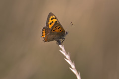Autumn Copper (music_man800) Tags: lycaena phlaeas small copper butterfly butterlies insect animal lepidoptera nature flora fauna outdoors outside natural light orange grass stem dead rest bask sun september sunny warm hot rspb royal society protection birds meadow west canvey marsh essex uk united kingdom pretty beautiful hike walk canon 700d adobe lightroom creative cloud edit photography arty artistic sigma 150mm macro lens prime sharp focus bokeh background blur