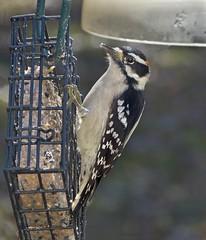 Downy Woodpecker male_3Nov2018 (Bob Vuxinic) Tags: bird downywoodpecker picoidespubescens male suetfeeder cumberlandplateau crossvilletennessee 3nov2018