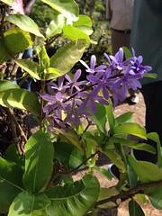 (rosaangelica14) Tags: purple flower