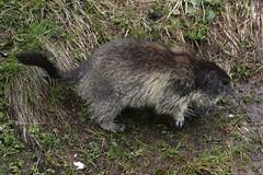 Murmeltier am Grossglockner - 8Y8A2203 (fotodesign.axelkammerer) Tags: tier murmeltier natur grossglockner