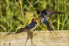 Feed Meee (D Hutchinson Photography) Tags: wildlife bird