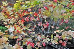 LEAVES 7 (KayLov) Tags: swannanoa scenery asheville grove park inn leaves foliage