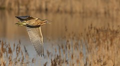 Bittern_5464 (marsh and moor) Tags: nikon d850 nikkor afs200500f56 wildlife nature bird bittern rspbdungeness