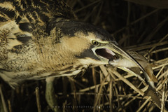 Bittern (Ian Hufton Photography - Landscape & Wildlife) Tags: bird bittern wildlife wild ianhufton