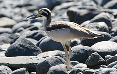Beach Thick-knee (8) (Richard Collier - Wildlife and Travel Photography) Tags: birds australia australianbirds wildlife naturalhistory nature beachthickknee coth coth5