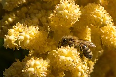 Garden Scott G6 Apis mellifera on Palm GSC_8907.jpg (st peters gardens armidale) Tags: 2018 apinae animalia plants australia gardenweekend insect apis northerntablelands garden mellifera apidae hymenoptera wildlife honeybee stpeters events animals fauna places flowering apocrita apoidea apini church nature areaceae arthropoda palm monocot magnoliophyta towngarden plant urallashire nsw flora newengland arecales plantae sandoncl gardenweekendflickr phanerogamae insecta uralla liliopsida angiospermae