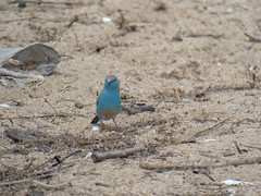 Southern Cordon Bleu, Blue waxbill (Uraeginthus angolensis) (vini00) Tags: bluewaxbill uraeginthusangolensis africa malawi lakemalawi southerncordonbleu