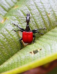 Giraffe-necked Weevil (Wild Chroma) Tags: trachelophorus giraffa trachelophorusgiraffa weevil beetle insects madagascar ranomafana