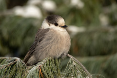 Camp Robber on frosty pine (NicoleW0000) Tags: grayjay canadajay whiskeyjack bird northern winter frost snow pine tree evergreens coniferousforest habitat nature wild wildlife outdoor