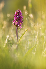 Knabenkraut (ThP.Photography) Tags: outdoor orchidee makro macro magic westerwald wildlife canon canonfotografie tamron gegenlicht pflanzen plants rheinlandpfalz rhein 5dmark2 knabenkraut koblenz natur nature naturfotografie naturdokument nikon sony spring farbenfroh frühling lens flare beyondbokeh