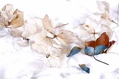 Serenity (Ker Kaya) Tags: hydrangea highkey white serenity sony kerkaya carlzeiss rx10 flowers fragile flora ybs2018 macro soft delicate