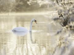 Golden Swan (dickiebirdie68) Tags: swan winter frost golden sunrise water river reflection nature wildlife suffolk cold nikon d850