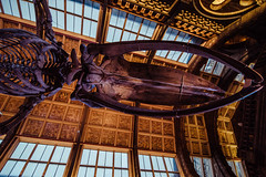 Hope's Head - Natural History Museum London (nickstone333) Tags: naturalhistorymuseum london museum entrance hope bluewhale nikon nikond7100 d7100 atx124afprodx tokinaaf1224mmf4