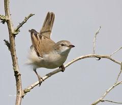 Common Whitethroat (Alan McCluskie) Tags: commonwhitethroat whitethroat grasslandbird birds aves oiseau canon7dmk2 sigma150600mmsp