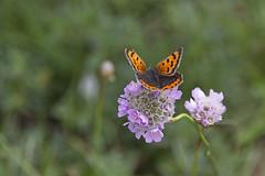 """Kleiner Bär auf Blume - Butterfly """"Kleiner Bär"""" on flower (heinrich.hehl) Tags: natur fauna schmetterlinge kleinerbär blume deutschland nordfriesland föhr"""