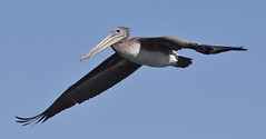 Brown Pelican (MJ Harbey) Tags: bird pelican brownpelican pelicansoccidentalis animalia aves pelecaniformes california mosslanding monterey nikon d3300 nikond3300 sky bluesky