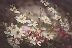 Flying practice (Aby Images) Tags: canon eos 1ood 50mm finistère bretagne britanny cosmos fleurs flowers vintage soft garden